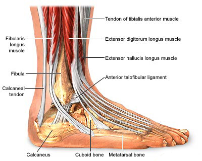 Ankle anatomy and Physiology :: FOOYOH ENTERTAINMENT